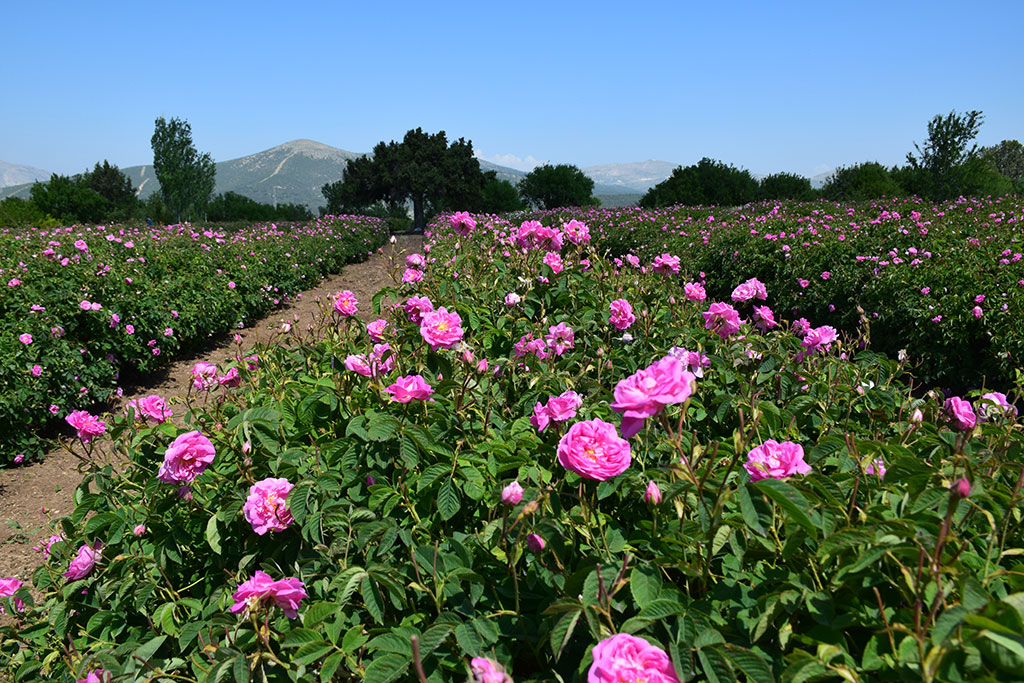 Rose Garden of Turkey